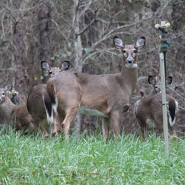Group of deer looking at camera